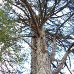 Борови връхчета /Pinus sylvestris/