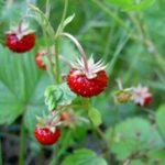 Горска ягода /Fragaria Vesca/
