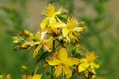 Жълт кантарион /Hypericum perforatum/