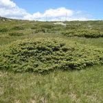 Обикновена хвойна /Juniperus communis/