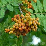 Офика /Sorbus aucuparia/