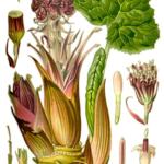 Чобанка /Petasites hybridus L./